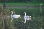 cigno nello stagno,coppia di cigni,cigni sull'acqua,cigno maschio e cigno femmina,cigno del lago