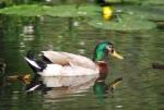 immagine di germano reale maschio,foto di germano reale nello stagno,germano reale in acqua,germano reale nel lago