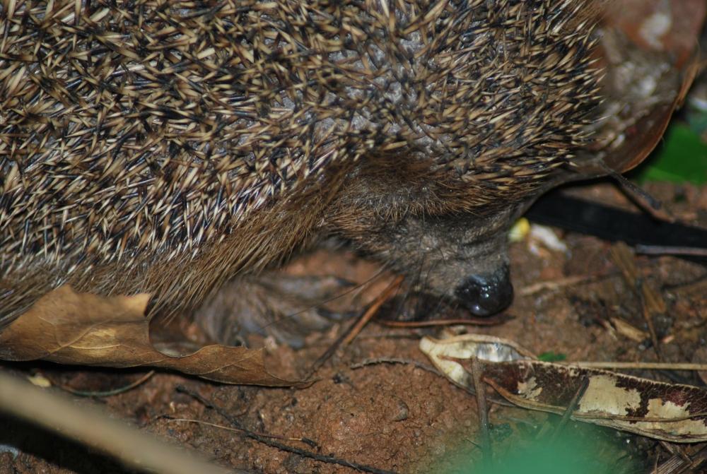 Animali che vivono nel bosco della fattoria animali del bosco - Riccio in giardino ...