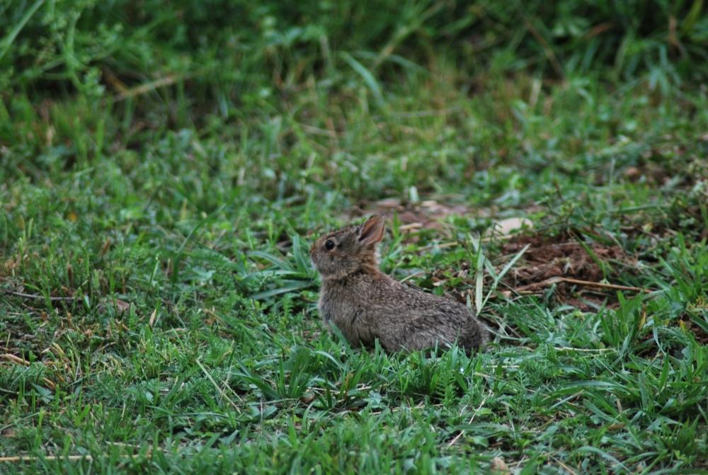 IL CONIGLIO il coniglietto