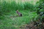 mini lepre in fattoria,piccola mini lepre sul prato della fattoria didattica,coniglietto lunghe orecchie