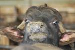 educazione ambientale nella fattoria delle bufale