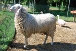 pecora in fattoriaagriturismo con pecorefattoria