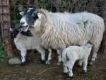 educazione ambientale in fattoria con le pecore,fattoria con gregge di pecore,fattoria didattica con ariete