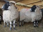 montone con pecora in fattoria didattica,agriturismo con pecore e agnelli,fattoria per bambini con agnellini