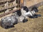 agnelli in fattoria didattica per bambini,educazione ambientale con agnelli in fattoria,corna di pecora,agnello mentre beve il latte