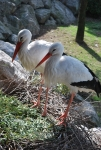 cicogna nel nido,cicogna mentre cova le uova,cicogna maschio e cicogna femmina