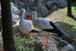 cicogne sul nido,nido di cicogne in palude,cicogne sull'albero dello stagno,foto di cicogna,cicogna cosa mangia,cicogna dove vive,cicogna nido,fattoria didattica la cicogna
