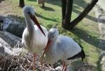 immagine di cicogna,cicogna nel nido sull'albero del bosco della fattoria,foto di cicogna in fattoria didattica