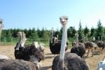 struzzo in fattoria didattica,struzzo maschio con piumaggio scuro,struzzo femmina con piumaggio grigio