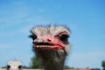percorso didattico con struzzi in fattoria didattica,carne di struzzo in agriturismo,piume di struzzo