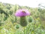 ape su fiore,ape sul prato della fattoria,api cercano fiori,ape con polline