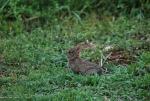 mini lepre  sul prato di una fattoria didattica,mini lepre cosa mangia,mini lepre dove vive,mini lepre o coniglio selvatico