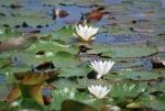 fiore dello stagno,ninfea in palude,fiori dello stagno didattico in fattoria,stagno didattico per bambini