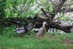 anatre in una palude,anatre nello stagno,anatre germani reali nello stagno didattico in fattoria,femmina di germano reale nel laghetto