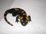 salamandra nel laghetto,salamandra nello stagno didattico in fattoria per bambini,salamandra stagno educazione ambientale