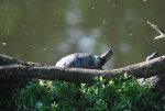 tartaruga nel laghetto,tartaruga dalle orecchie rosse nello stagno didattico,tartaruga acquatica stagno palude