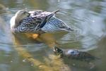 anatra e tartaruga nello stagno,anatra con tartaruga in palude,ambiente acquatico con anatre e tartarughe,educazione ambientale con anatra e tartaruga