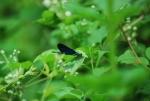 damigella nello stagno,damigella simile alla libellula,damigella volo sullo stagno didattico,damigella insetto dalle lunghe ali