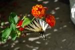 farfalla su di un fiore,farfalla colorata sul prato della fattoria didattica,farfalla posata su fiore