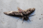 farfalla sfinge del convolvolo,farfalla agrius convolvuli,farfalla notturna sfinge del convolvolo