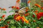 farfalla sui fiori del prato in fattoria didattica,farfalla nettare colorata fattoria