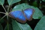 farfalla ali azzurre,farfalla morpho peleides,farfalla bruco crisalide fattoria didattica