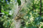 larva di heponomeuta hesabola,larva di farfalla su albero,larve in un bozzolo di farfalla