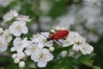 insetto pyrochroa coccinea,insetto coleottero con elitre rosse,coleottero in fattoria didattica