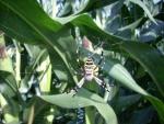 ragno argiope bruennichi,ragno con bande nere,ragno vespa aracnide in fattoria,ragno vespa femmina sulla ragnatela