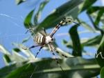 ragno vespa femmina sulla ragnatela.argiope bruennichi femmina in campo di mais della fattoria