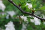 tipula insetto,insetto tipula grossa zanzara ma non punge,tipula su di un fiore della fattoria didattica