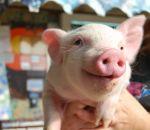 foto animali della fattoria,fattorie didattiche:maiali-il maiale è un gran golosone,i maialini bevono il latte,maiale nero,maiale nero in fattoria,didattica per bambini in fattoria,disegni da colorare per bambini di animali in fattoria didattica