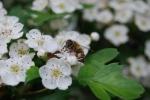 ape posata su fiore di biancospino,ape prende nettare da fiore,ape all'interno del fiore per succhiare il nettare