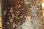 api nell'alveare,telaino con api al lavoro,telaino con covata di api,telaino con miele opercolato