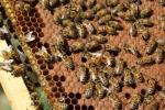ape regina sul telaino,ape regina dell'alveare della fattoria didattica,percorsi didattici sulle api in fattoria,ape regina e pappa reale