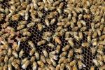 telaino dell'alveare con ape regina ape operaia fuco,fuco ape maschio dell'alveare,sciamatura delle api,larva dell'ape