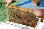 telaino con miele per nutrire le api,pappa reale per nutrire l'ape regina,uova di ape e larve di ape nelle cellette