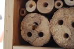 osmia o ape solitaria entra nel nido,ape solitaria osmia porta il nettare nel nido per la larva,nido di ape solitaria o osmia con ali sporche di polline