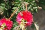 ape intenta a succhiare il nettare dal fiore pieno di polline,ape bottinatrice al lavoro sul fiori della fattoria didattica
