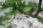 ape operaia al lavoro sui fiori della fattoria didattica,percorsi didattici in fattoria sulle api e l'alveare,ape produce miele e pappa reale