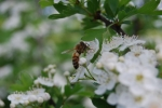 ape alla ricerca del nettare per produrre miele,ape produce miele e propoli,fuco maschio dell'ape non sa nutrirsi da solo