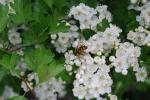 sirfide in un fiore,sirfide cerca il nettare,sirfide insetto,sirfide insetto che assomiglia all'ape,sirfide dittero sui fiori
