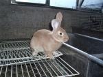 coniglio nella conigliera della fattoria didattica,coniglio con piccoli coniglietti,mamma coniglia allatta i coniglietti senza pelo