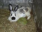 coniglio dalle lunghe orecchie in fattoria didattica dal pelo morbido,coniglietto della fattoria educazione ambientale per bambini