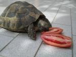 tartaruga di terra in una fattoria didattica,tartaruga mangia ortaggi e frutta durante l'inverno va in letargo sotto la paglia della fattoria