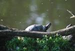 tartaruga acquatica in fattoria,tartaruga dalle orecchie rosse acquatica educazione ambientale sugli animali non autoctoni e pericolosi per l'ambiente in fattoria