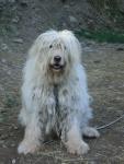 cane pastore bergamasco in fattoria didattica,cagnolino della fattoria didattica per le scuole