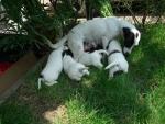 cagnolina con cuccioli cagnolini in fattoria,mamma cagna con piccoli cagnolini che allatta in fattoria didattica