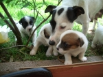 cagnolini accuditi dalla mamma cagnolina che lecca i suoi piccoli,cane che allatta con il latte i cagnolini in fattoria